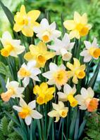 fiori narcisi