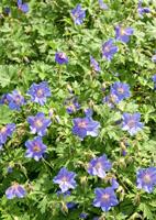 gerani fiori vivace