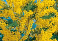 mimosa arbusto