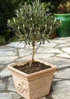 ordinare olivo