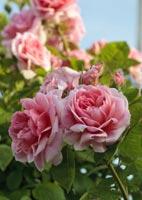 rose giardino