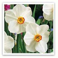 narciso bianco