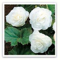 begonia bianco