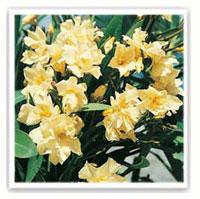 oleandro giallo luteum plenum