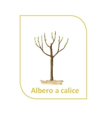 Gli Alberi da frutto :l'albero a calice