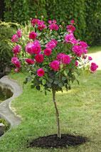 Messa a dimora delle rose quando e dove piantarle for Piante ad alberello