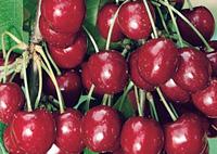 alberi da frutti ciliegio
