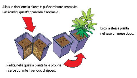 ricezione piante perenni