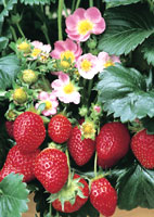 Fragole consigli di messa a dimora potatura e mantenimento for Fragole piante vendita