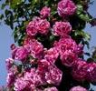 rosa inès sastre
