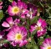 rosa pink drift