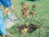 annaffiare arbusto