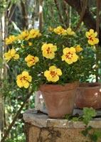 Coltivare le rose in vaso balconi terrazze for Coltivazione goji in vaso