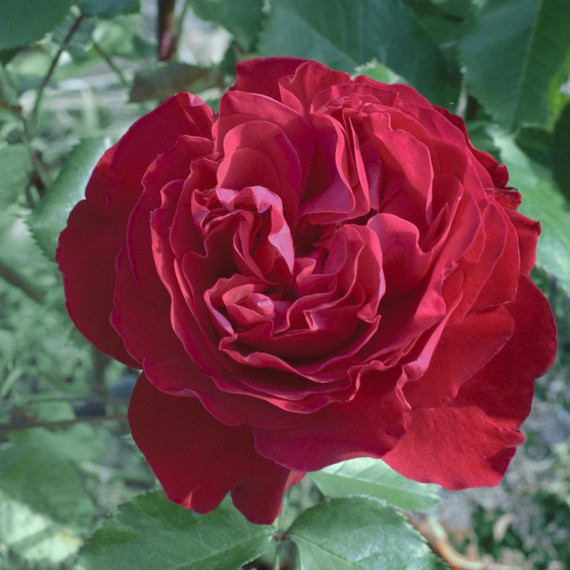Rosa MARYLOU ® Meilitchy