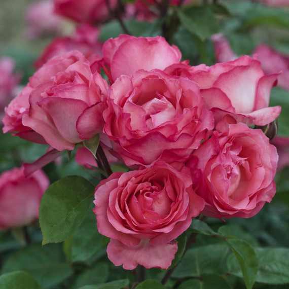 Rosa PANTHERE ROSE ® Meicapinal