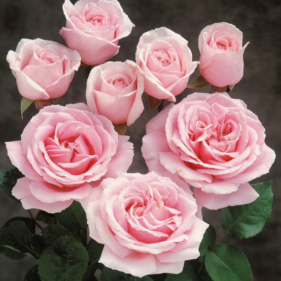 Rosa FREDERIC MISTRAL ® Meitebros