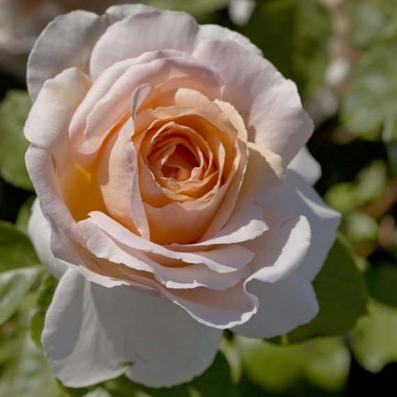 Rosa ANDRE LE NOTRE ® Meiceppus