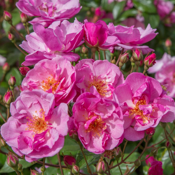 Rosa Louis Blériot ® Meibivers