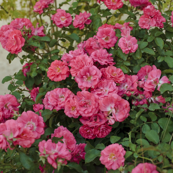 Rosier rose Coral Drift ® Meidrifora