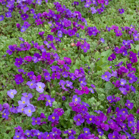 Aubriete Royal Violet