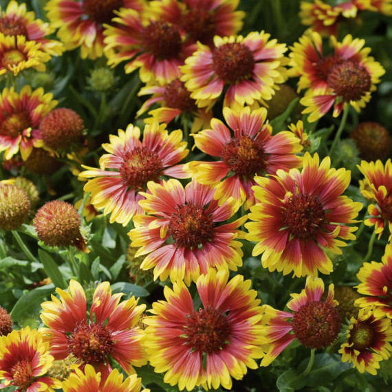 Gaillarde Royal