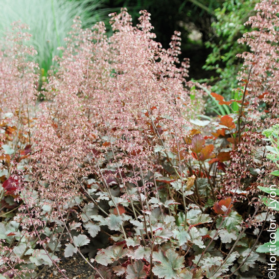 Heuchera CHOCOLATE RUFFLES ®