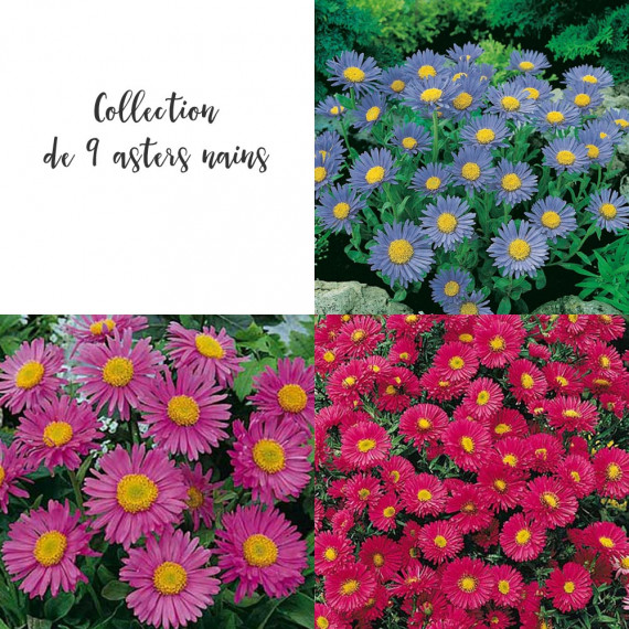 Collection de 9 asters nains