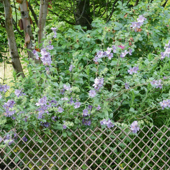 Lavatera Blue Bird ® Renlav