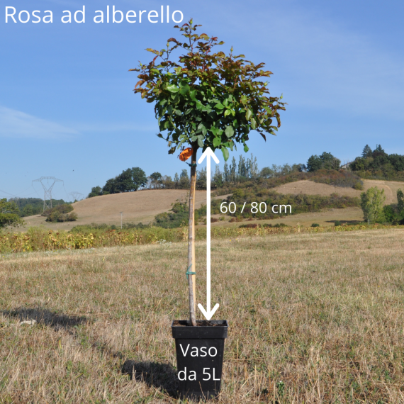Rosa a alberello CARTE D'OR ® Meidresia