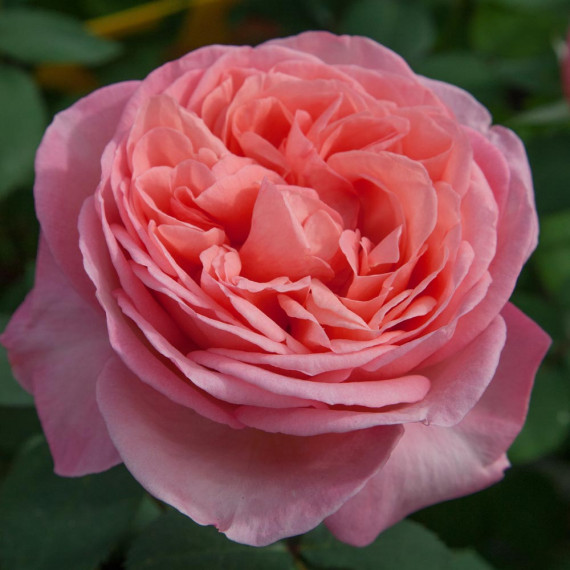 rose Mademoiselle MEILLAND ® Meinostair