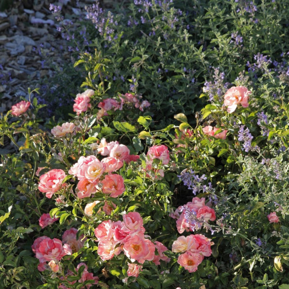 Duo tendresse Rosier Peach DRIFT ® Meiggili et Nepeta Six Hills Giant