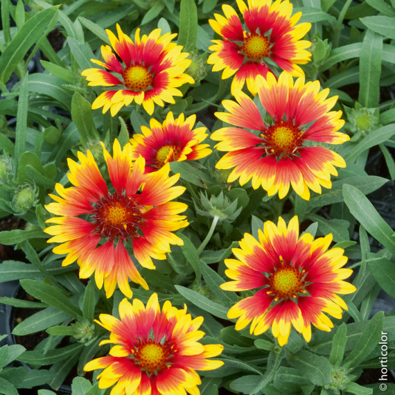 Gaillardia Royal