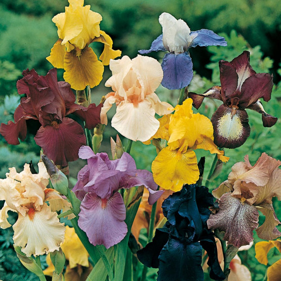Iris a Grandi Fiori in mix