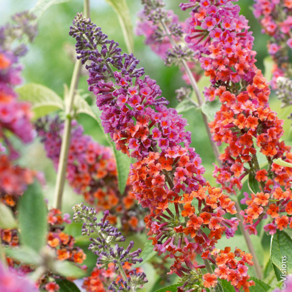 Buddleia Flower Power la pianta