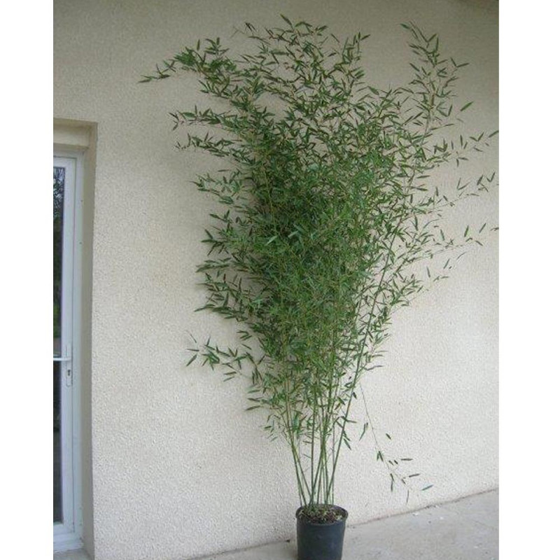 Bamb phyllostachys bissetii acquistare bamb meilland - Canne bambu in vaso ...