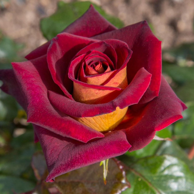 Rosa black gold eddy mitchell meirysett rosai a for Rose meilland