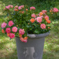 Rosa Peach Drift ® Meiggili