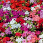 Impatiens hybridas in mix