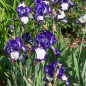 Iris a grandi fiori Stepping Out