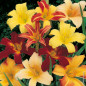 Hemerocallis Ibrida In Mix