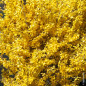 Forsythia WEEK-END ® Courtalyn