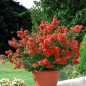 Lagerstroemia Petite Red, Lilla delle Indie rosso