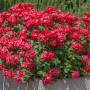 Rosa Double KNOCK OUT ® Radtko