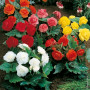 Begonia NON STOP ® in mix