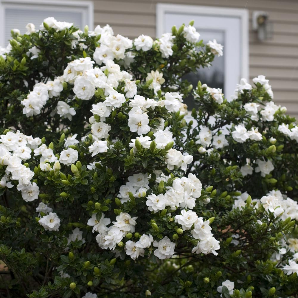 Gardenia crown jewel acquista on line arbusti meilland - Gardenia coltivazione in giardino ...