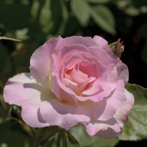 Rosa Charles Aznavour ® Meibeausai