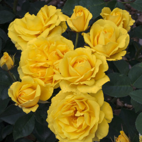Rosa Carte d'Or ® Meidresia