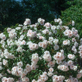 Rosa Ice Meillandecor ® Meivahyn