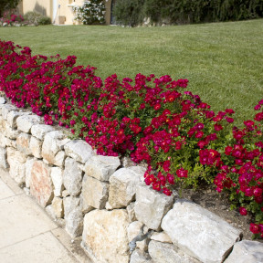 Rosa Red Drift ® Meigalpio
