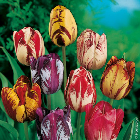 Tulipani Rembrandt in Mix